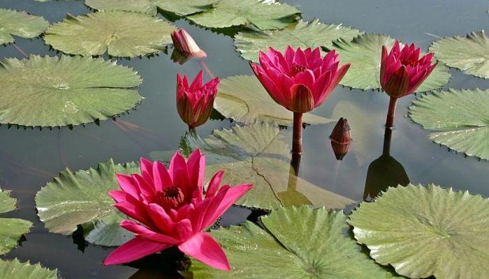 Plantas acuáticas con flores