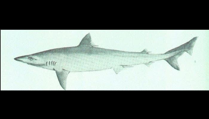Dibujo del Tiburón Cazón