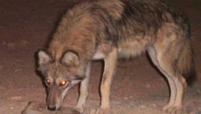 Lobo visto de noche