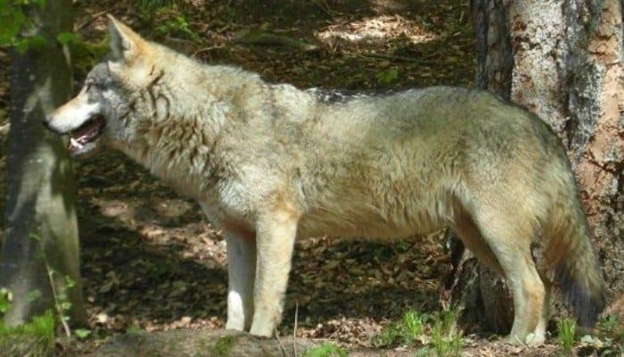Lobo de los Apeninos