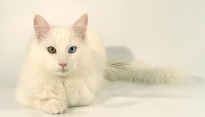 Gato de raza angora