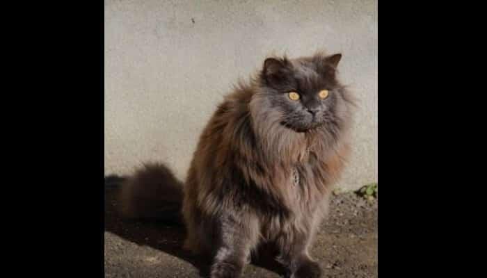 Gato Asiático De Pelo Semilargo