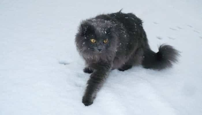 Gato De Pelo Semilargo Asiático