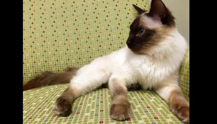 Gato De Raza Balinesa
