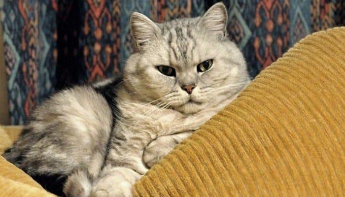 Gato Pelicorto Bitánico