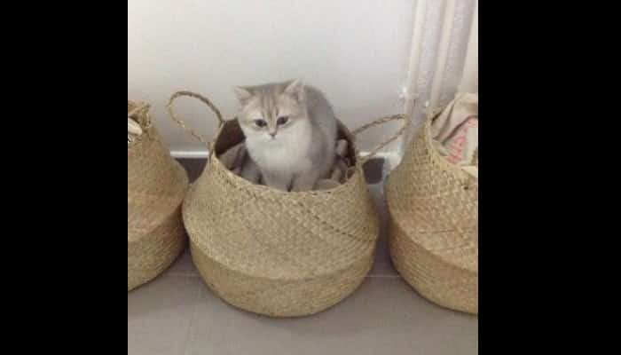 Lindo gato inglés