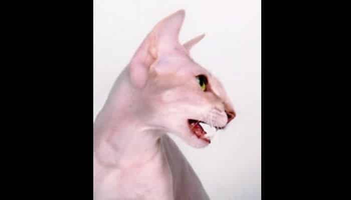 Gato sin pelaje
