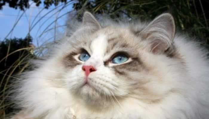 Gato de Siberia