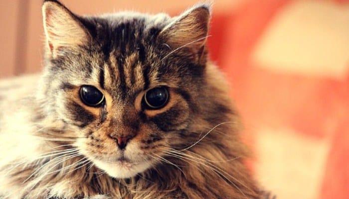 Raza Hermosa de Gato